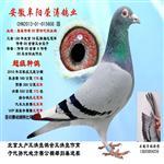 安徽荣涛鸽业