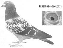 小白信鸽用品