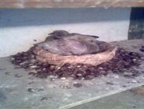 自然养鸽联盟