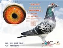山西海江赛鸽摄影