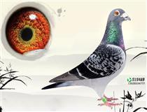 宏达信鸽摄影