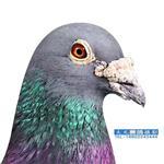 武清恒大鸽店