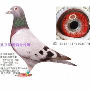 北京翠涛鸽具