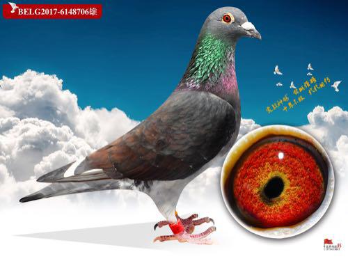 职业赛鸽―蓝天霸主