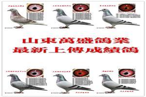 所有种鸽低价转让,【抢购】!!!!