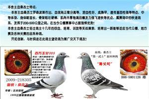 速度性赛鸽――桑杰士家族
