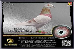 金马500元定价种鸽已上传,招聘饲养员