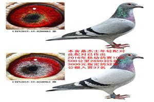 《速度之王桑杰士》精品特留种鸽专场
