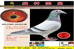 龙轩鸽业第一主血佛斯特拉原环-大铭鸽之系