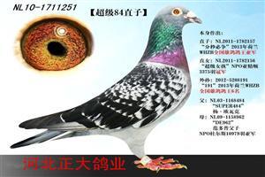 杨欧瓦克超级鸽王84直子