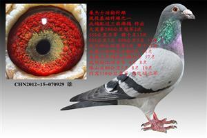桑杰士功勋种鸽拍卖场