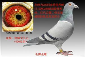 精品种鸽鉴赏