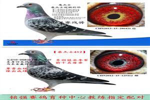中国铭强赛鸽育种中心回馈鸽友超级优惠进行中