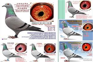 中国匹克-周小虎种赛鸽展售
