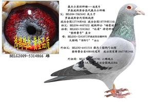 罗森波斯桑杰士高代种鸽拍卖