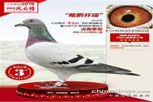 辽宁梅振江17年精品幼鸽正在拍卖中