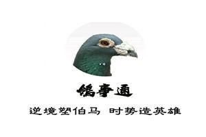 欧洲原环黄金配对 珍藏种鸽专场