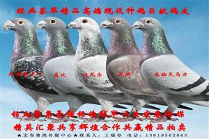 经典荟萃精品高端现役种鸽巨献鸽友