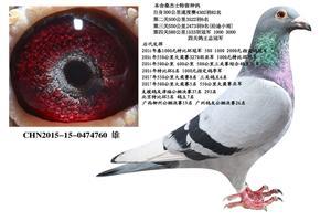 公棚多关赛速度之王桑杰士精品种鸽 幼鸽预定