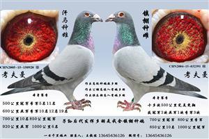 因鸽棚拆迁部分种鸽友情价支援鸽友望有缘鸽友把握机会