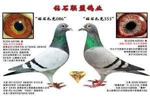 河北钻石联盟2020年幼鸽预订