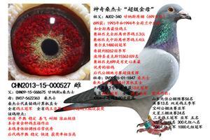 清棚――所有种鸽全部低价出售