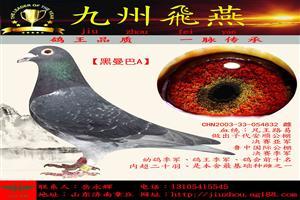 鸽王品质、一脉传承