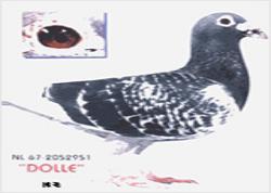 世界著名长距离鸽系--杨阿腾系
