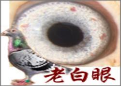 """詹森铭鸽""""老白眼""""(图)"""