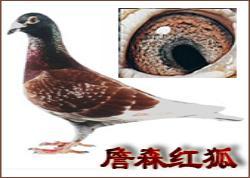 詹森红狐狸鸽系(图)