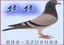"""一羽鸽子名叫""""丝丝""""(图)"""