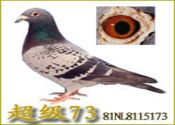 """名鸽""""超级73""""的故事(图)"""