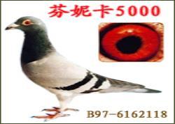 传奇鸽族:芬妮卡5000系列使翔体会