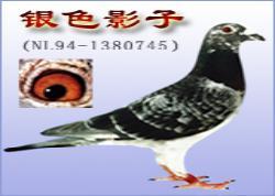 爱亚卡普凡龙鸽系:银色影子