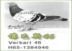 """不朽名鸽佛巴斯""""46""""号(图)"""