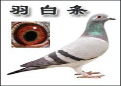 对白化特征信鸽的几点认识