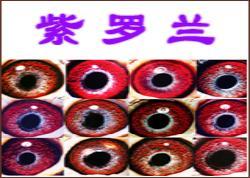 浅析紫罗兰眼志