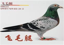 """""""飞毛腿""""信鸽的缔造者(图文)"""