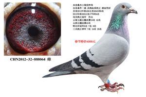 桑杰士高级功勋种鸽春节工薪回馈 电话18206566886
