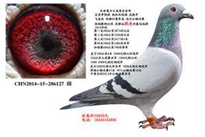 《速度之王》桑杰士超级种鸽春节特惠 电话18206566886