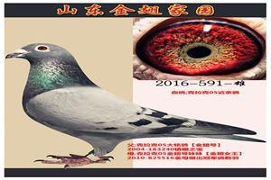 金翅家园再续05传奇黄金品系回馈鸽友!!!