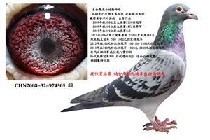 旭跃桑杰士功勋老种鸽回馈鸽友 电话18206566886