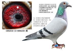旭跃桑杰士优秀种鸽回馈鸽友 电话18206566886