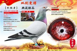 双创竞搏鸽业超级种赛鸽