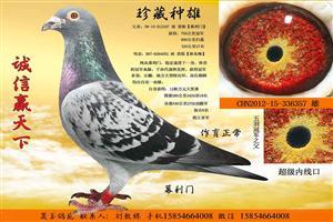 珍藏种鸽,退役出售