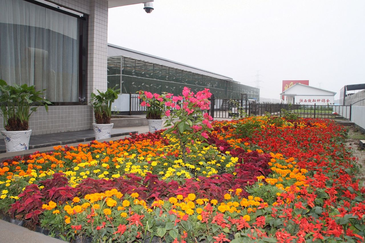 西安傲翔信鸽育种中心