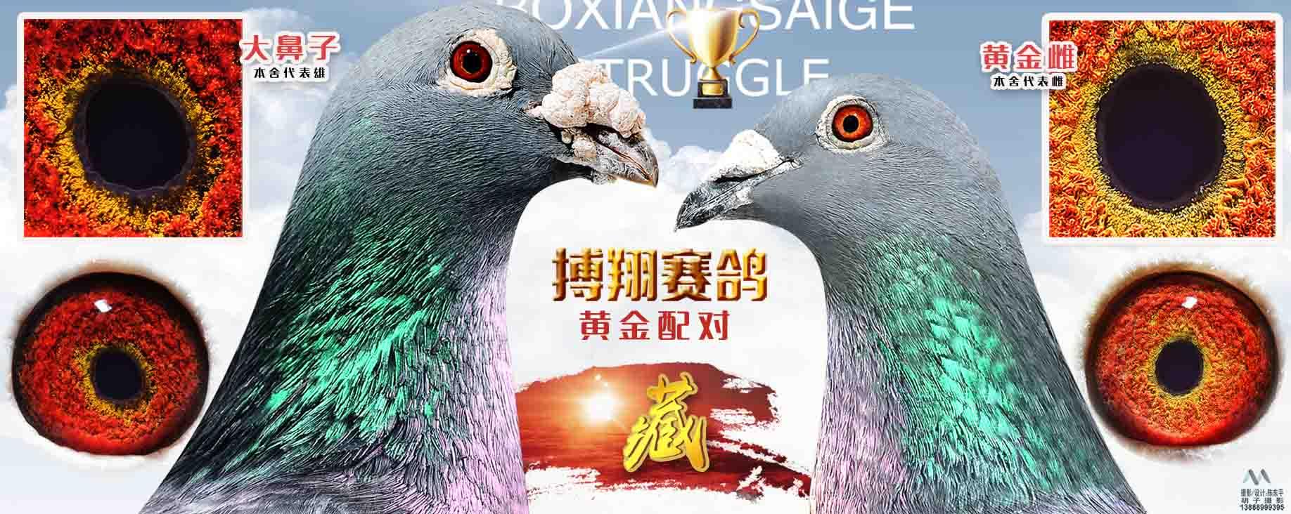 云南搏翔赛鸽 - 中信网铭鸽展厅 www.ag188.co